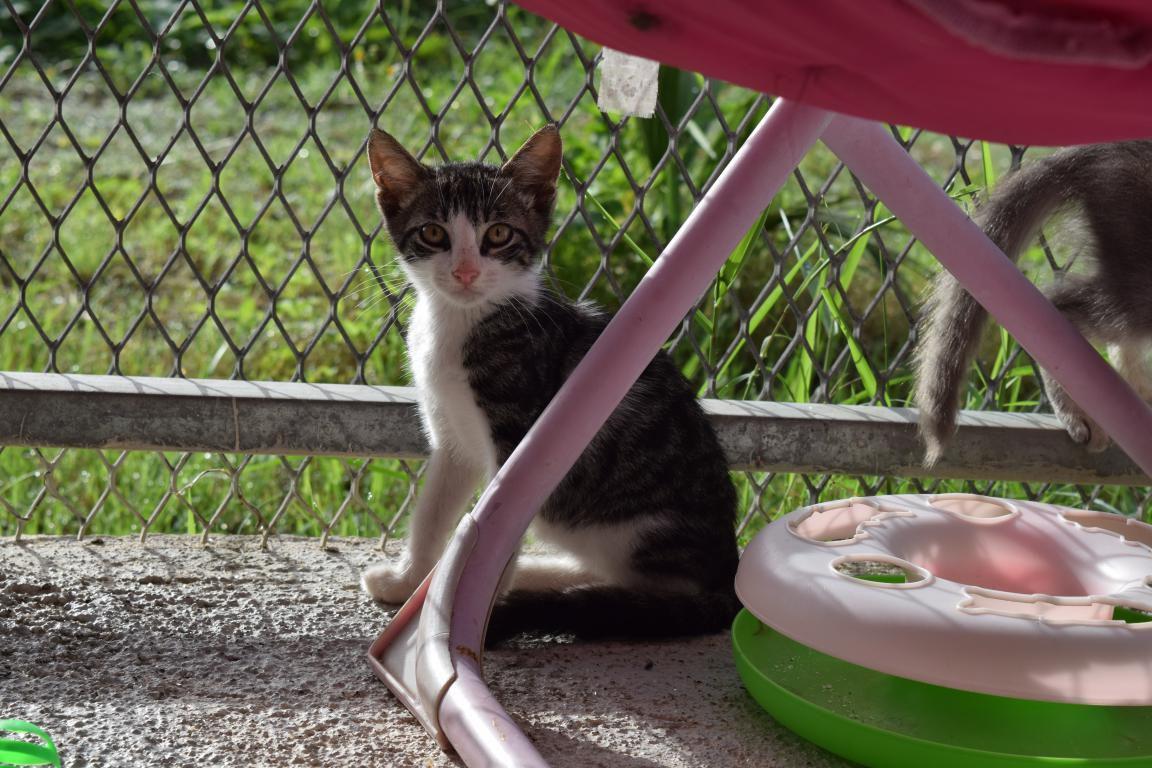 KARAIBE - chaton mâle - né le 07 mai 2017 - adopté