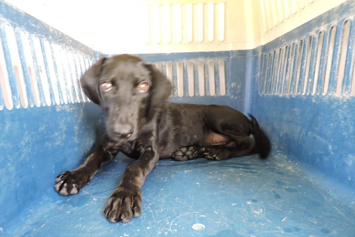 EVY - femelle noire croisée labrador - née le 04 mars 2017 - adoptée