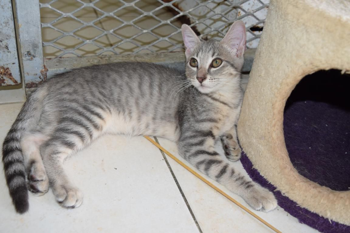 MINNIE - chaton femelle - née le 04 avril 2017 - adoptée