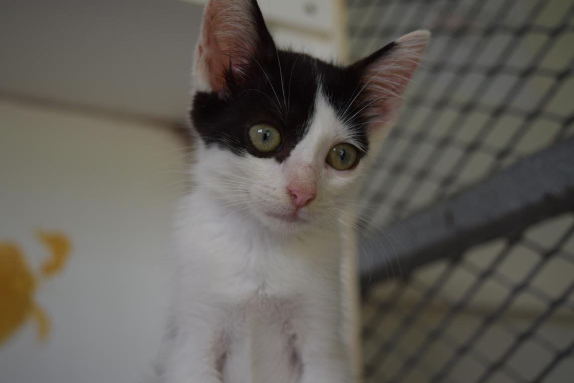 WHISKY - Chaton femelle - noir et blanc - né le 30 avril 2017 - adoptée