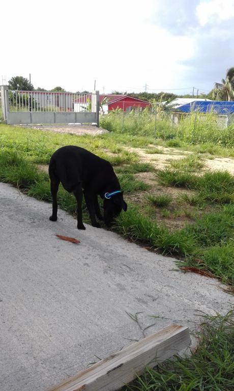 NAWELLE - croisée labrador PETITE taille - née le 03/10/2016 - adoptée