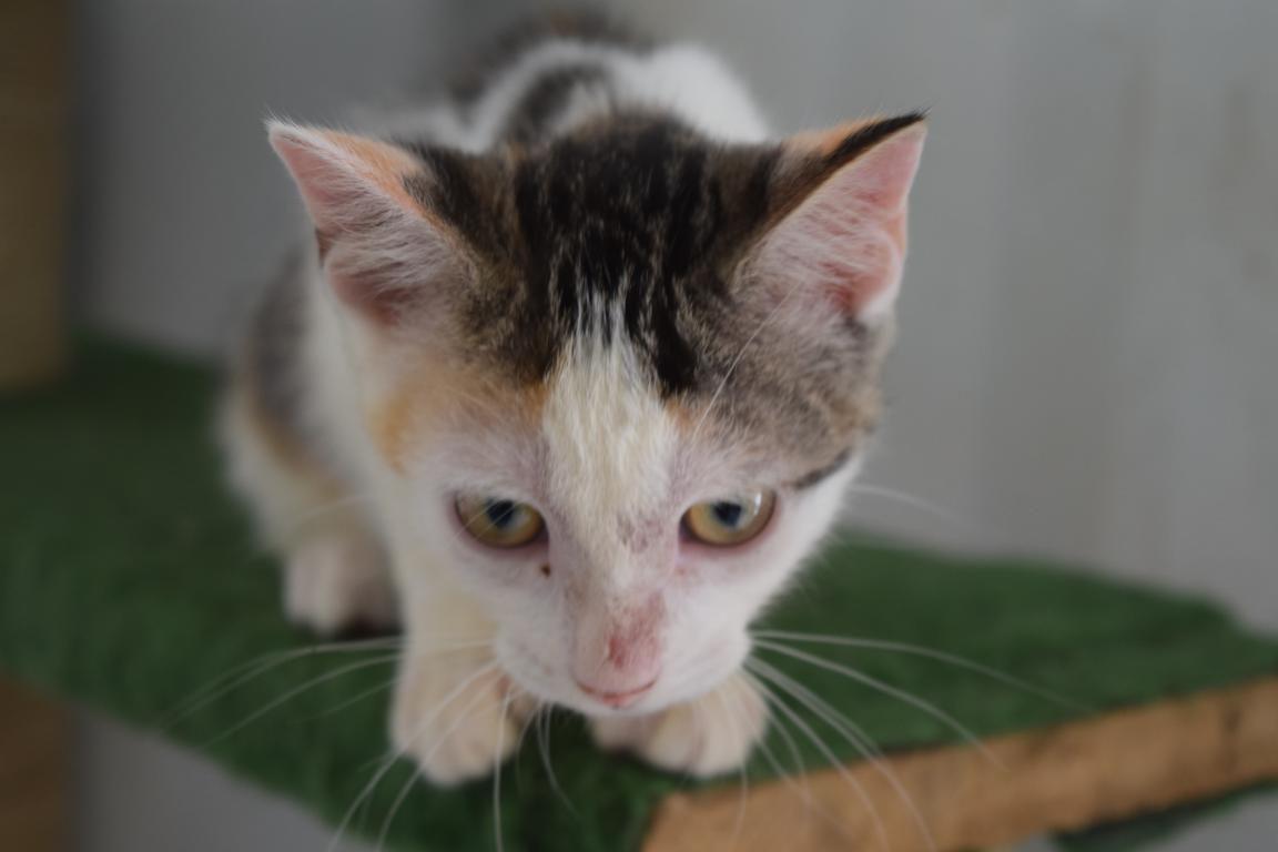 GARIGUETTE s'appelle CANNELLE - Tricolore femelle - née le 28/04/2017 - adoptée