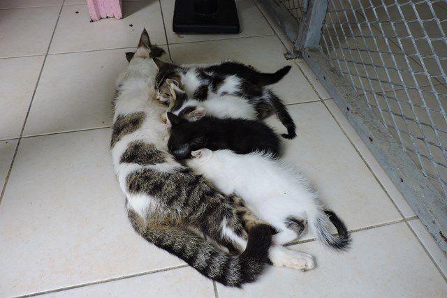 LOUKOUM - chat mâle - castré - 8 mois - adopté