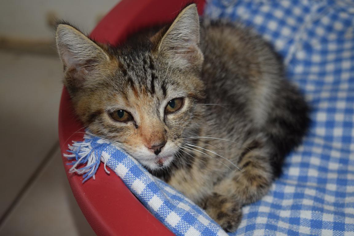 CAPUCINE s'appelle NOISETTE - chaton femelle née le 04/06/2017 - adoptée