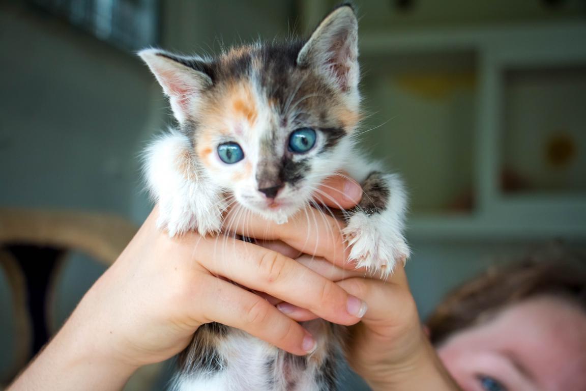GADGET - chaton femelle tricolore - née le 30 avril 2017 - adoptée avec GARIGUETTE