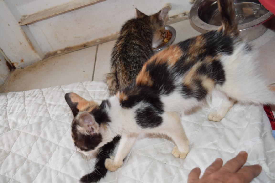 NOISETTE - chaton femelle tricolore - 2 mois - adoptée