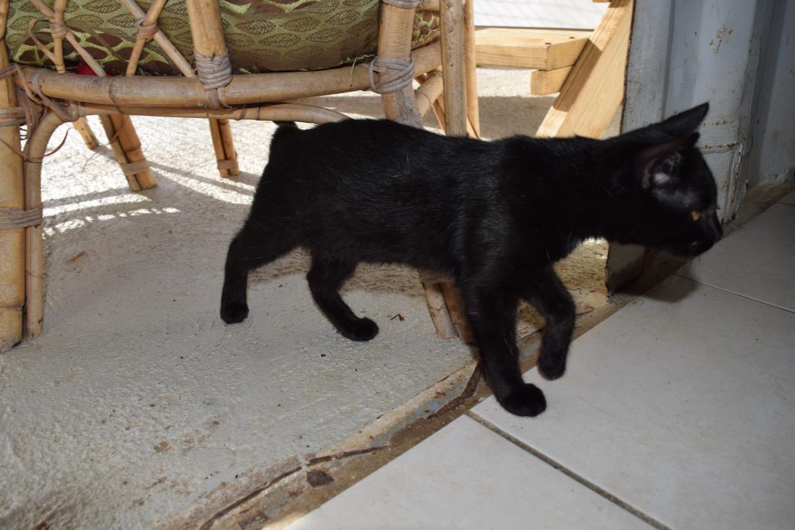 FIDJI s'appelle PIXIE - chaton femelle noire très belle - née le 26 mai 2017 - ADOPTEE
