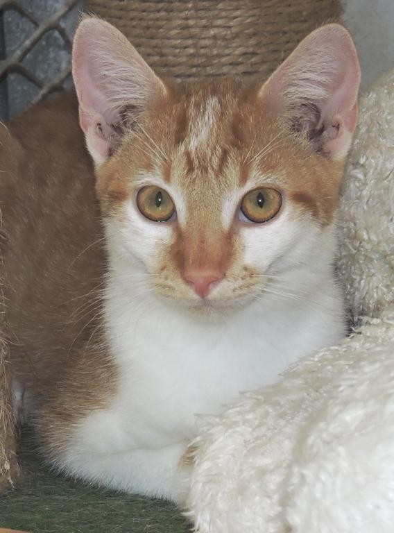 SIWO mâle roux et blanc - TRICO tricolore femelle - MIELLE femelle rousse et blanche - A L ADOPTION SPA REFUGE HERMERAY