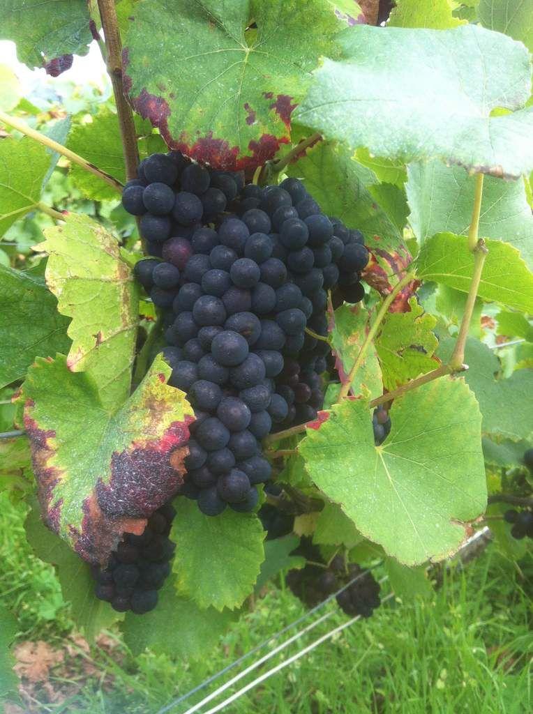 Le Pinot Noir - Environ 15 jours avant Récolte - Champagne Franck PASCAL - Biodynamie 2014