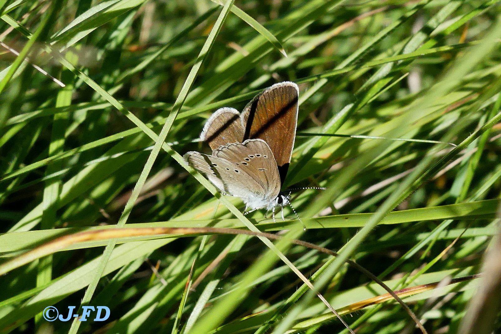 demi-argus (Cyaniris semiargus)