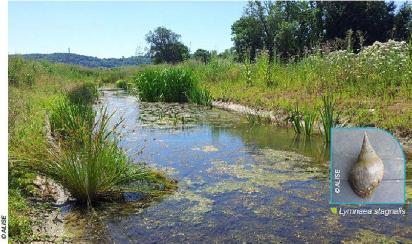 Noue humide à Hautot-sur-Seine : présence d'un mollusque rare en Normandie