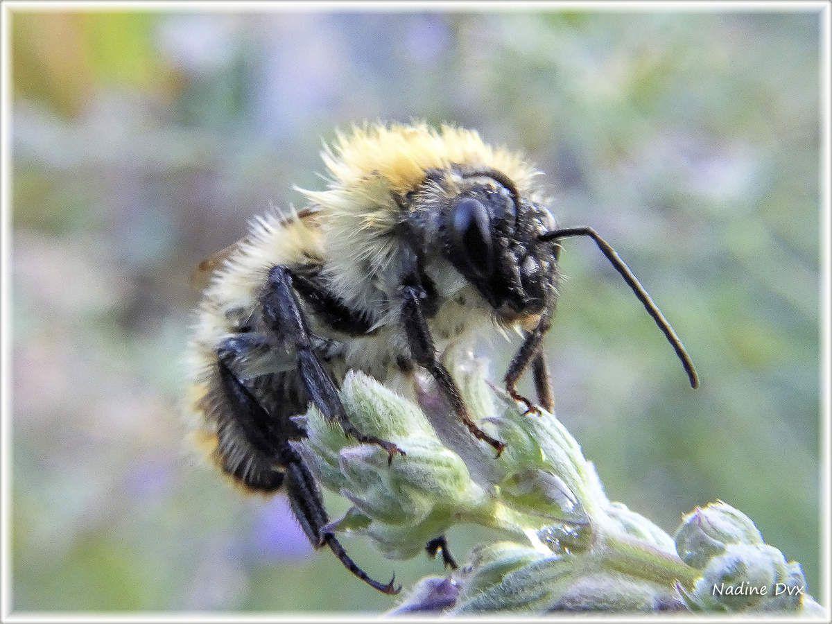 Bourdon terrestre, pourquoi ne récolte-t-on pas le miel des bourdons ?