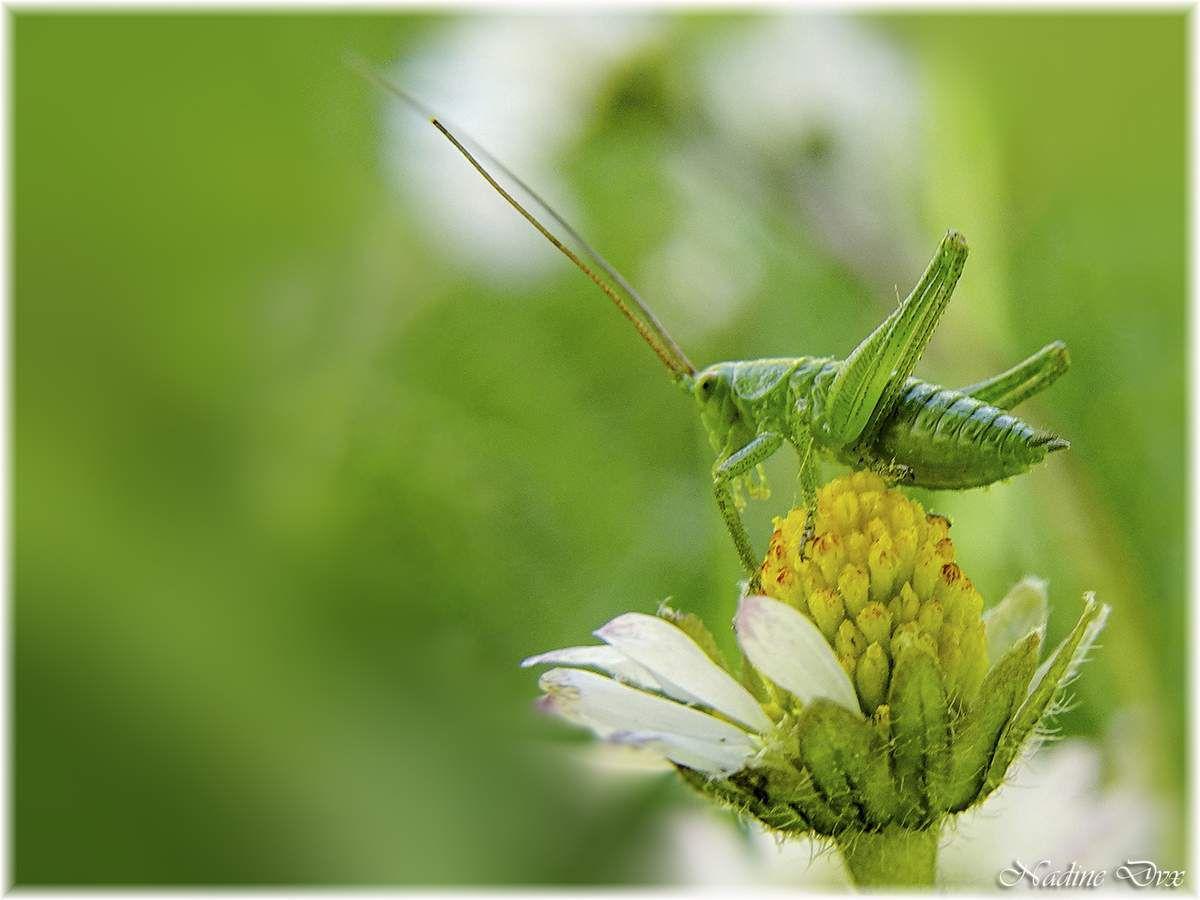 Tettigoniidae - Sauterelle