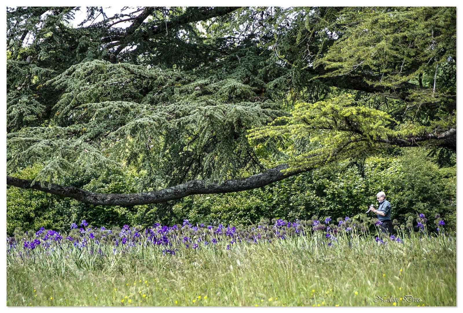 La promenade des iris bleus - Domaine de Chaumont-sur-Loire.