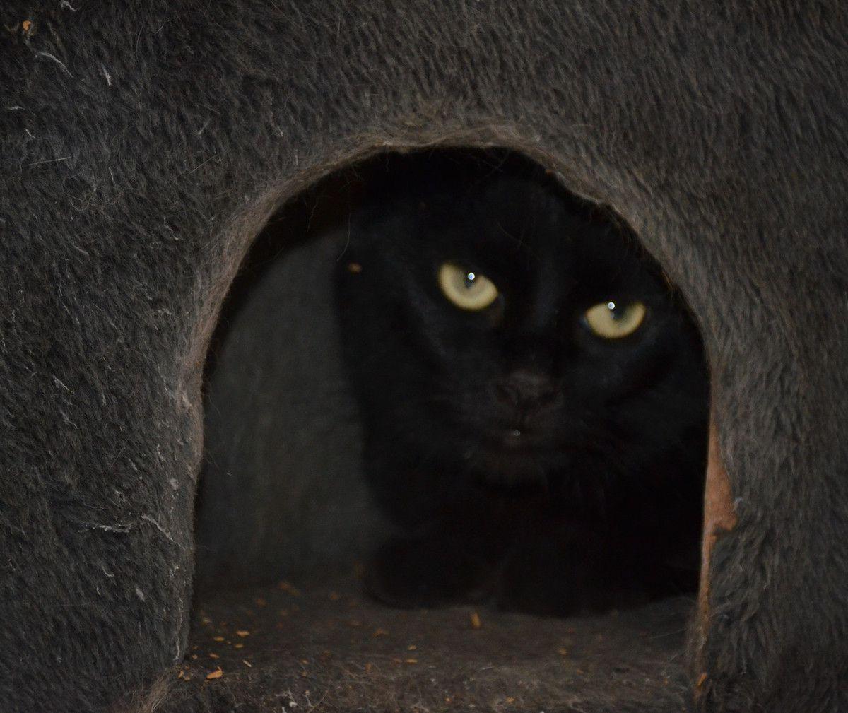 Elle est adoptée !!!  : NASRIN, jolie chatte noire stérilisée; âgée de moins de 2 ans
