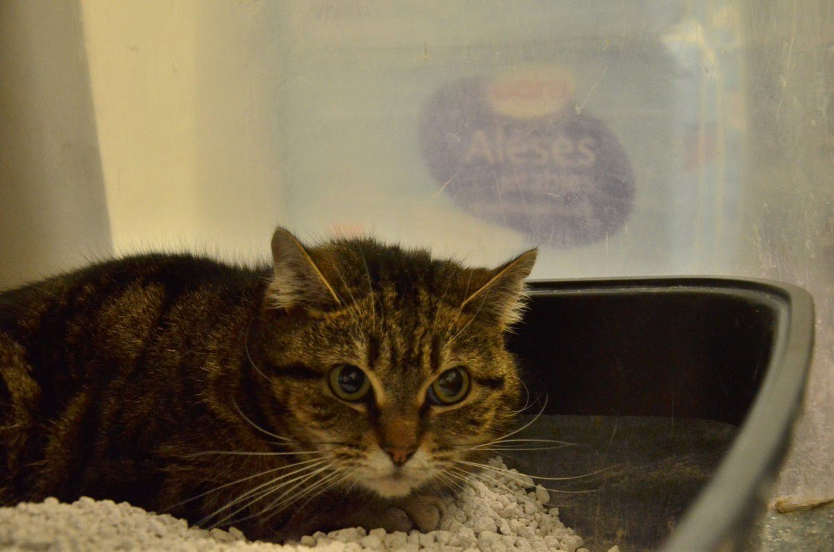A parrainer - En socialisation  SYDNEY (LUCE), chatte stérilisée d'environ 4 ans, à socialliser