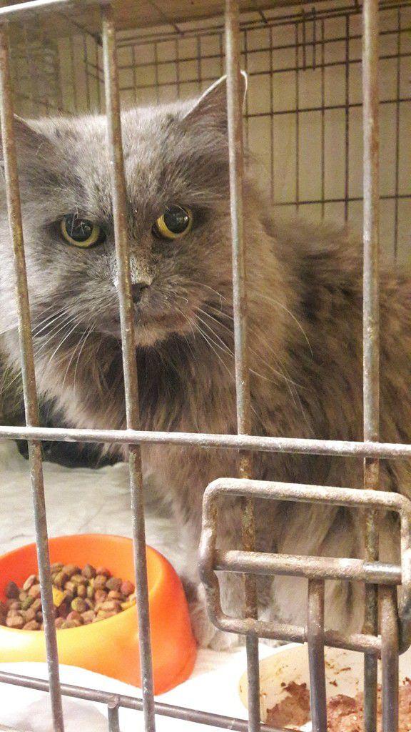 Elle est adoptée !!! : MINOUCHE, très belle angora bleue stérilisée d'environ 9 ans