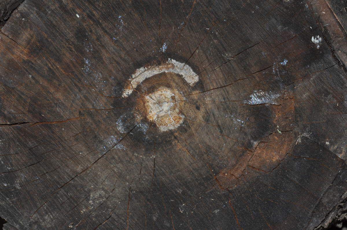 Le coeur du bois.
