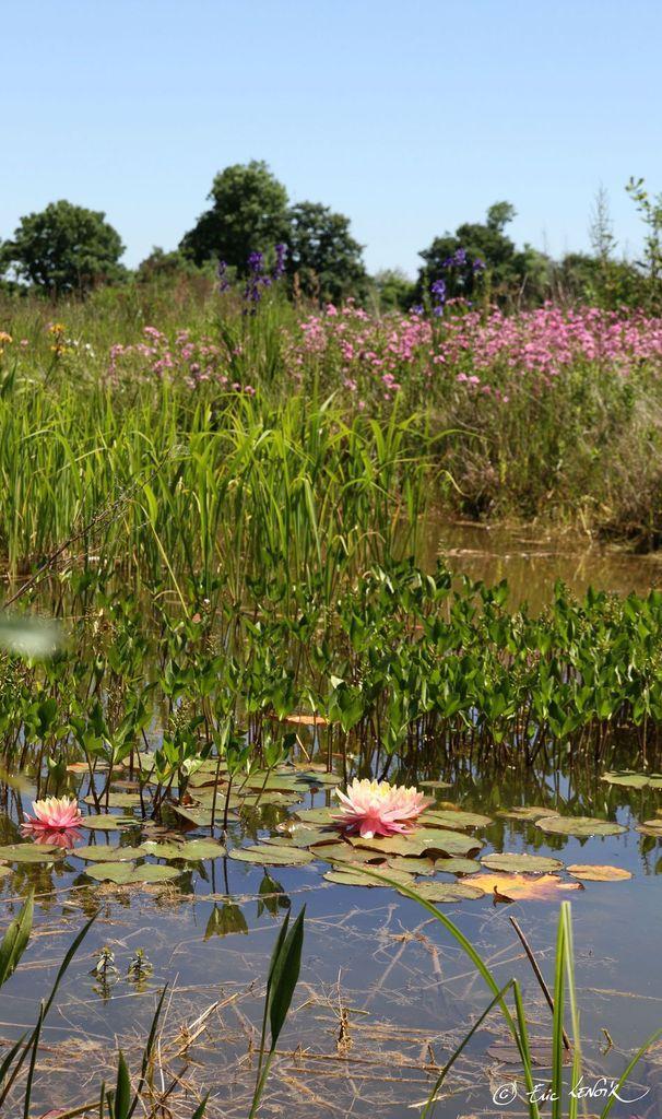 Nymphaea Barbara Dobbins, Menyanthes trifoliata, Zizania latifolia, Lychnis flos-cucculi, Iris versicolor, Iris sibirica, Iris pseudacorus, Alisma lanceolata, etc., au Flérial