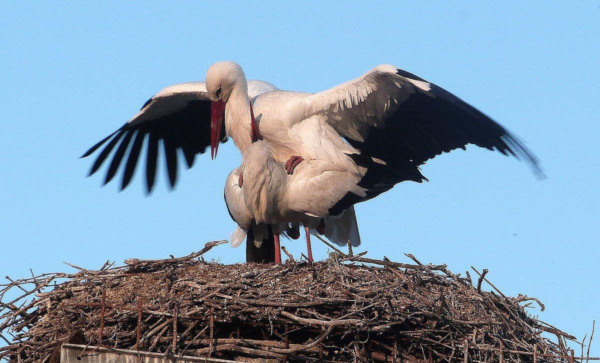 Scène d'amour au nid.