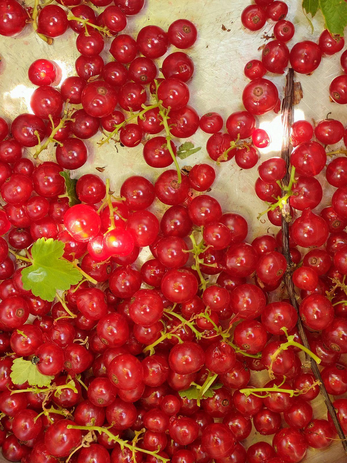 Cueillette de fruits rouges BIO - EPUISE