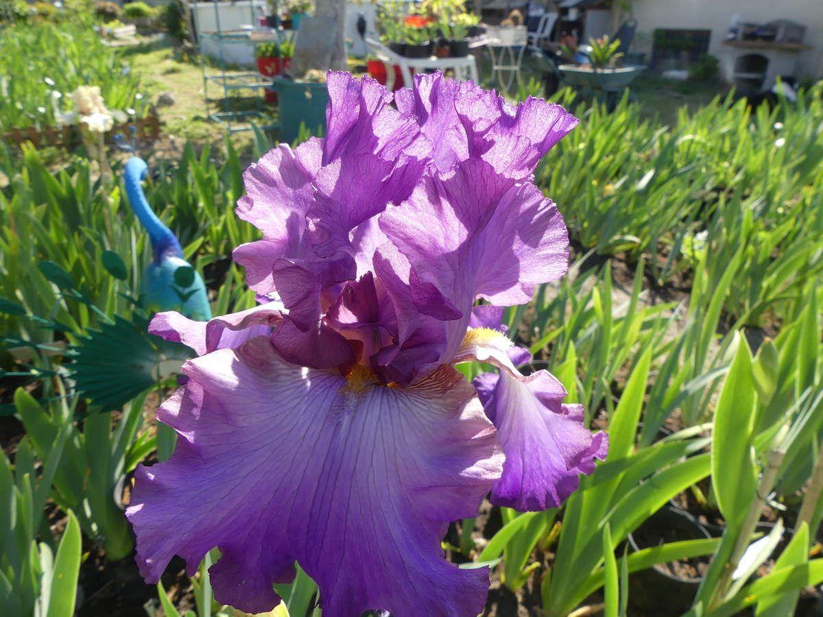 Le 1er est une pollinisation de Rose linda , 1ère floraison, qui ressemble à son oncle, Papillon de mai sans ses ornements.