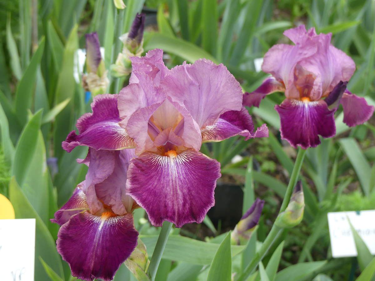 Ce matin au jardin des iris