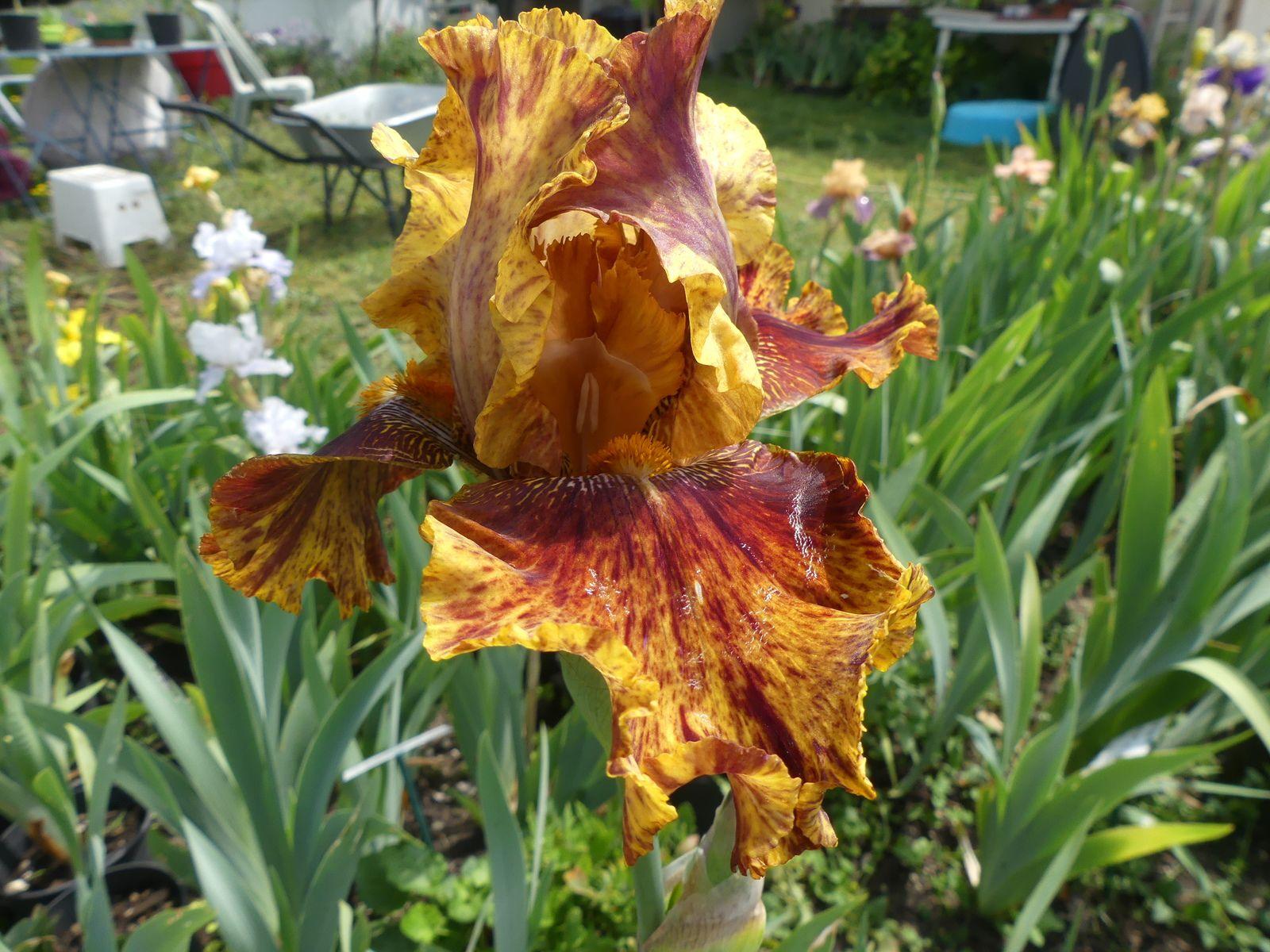 Un nouveau au jardin des iris du barry