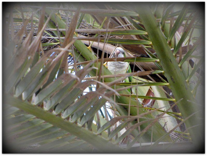 les perroquets de Malaga ..........