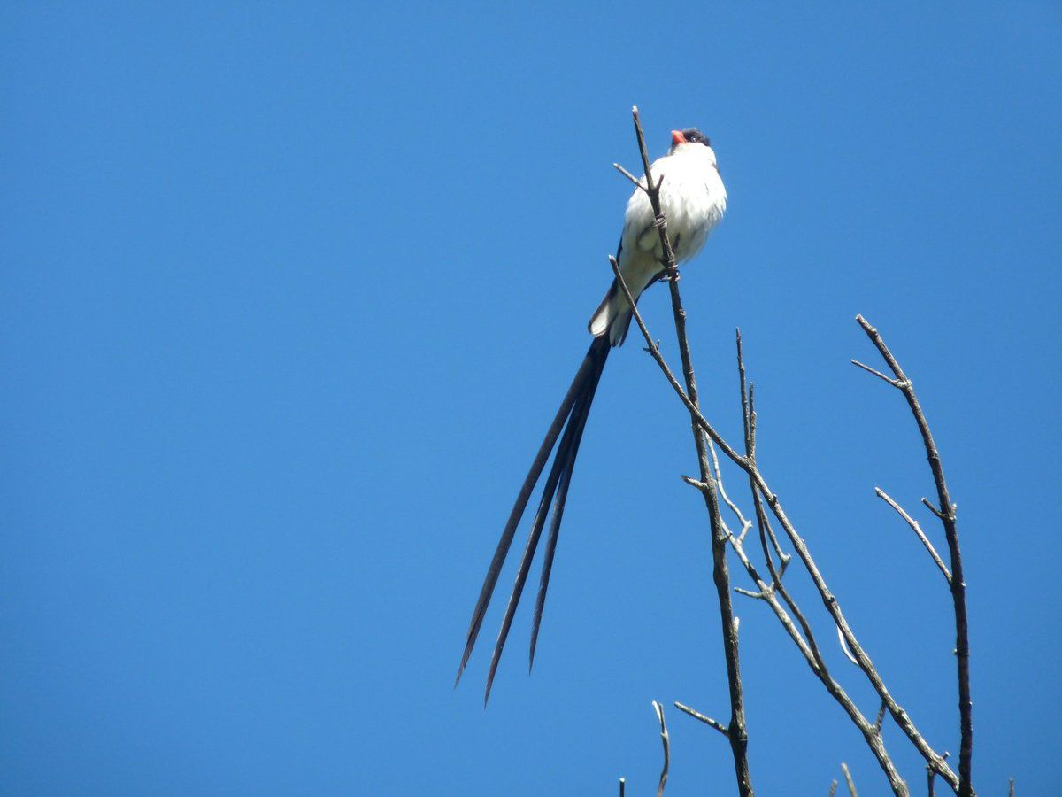 Veuve dominicaine (Pintailed whydah).