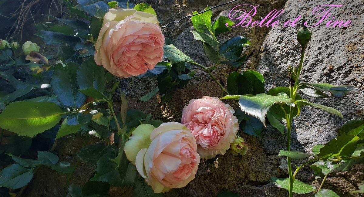 Roses (sans tige) en déco de table