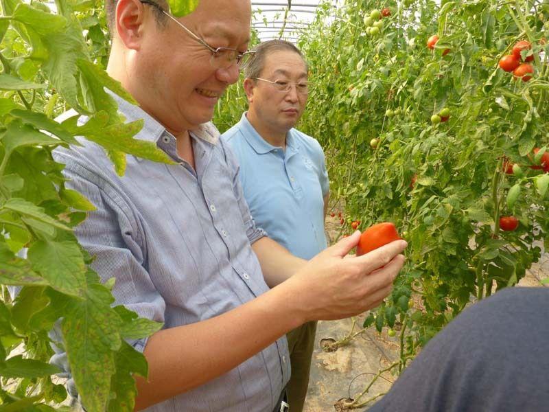 La serre aux tomates