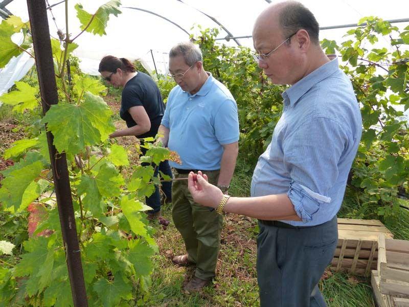 Visite de la serre aux raisins (Chasselat de Fontainebleau)