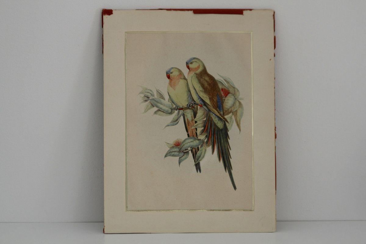 Affiche ancienne Perroquet Années 60 - Vintage
