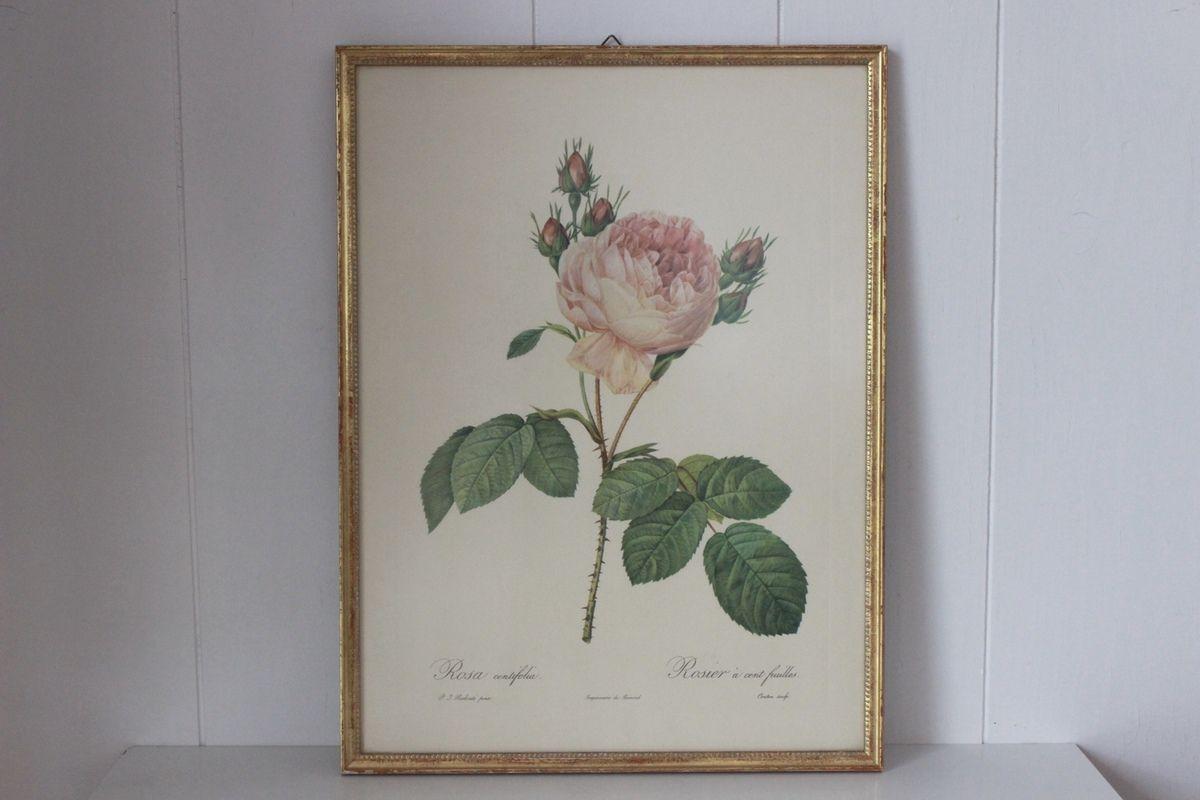 Tableau les roses de Redouté Rosier à cent feuilles Vintage
