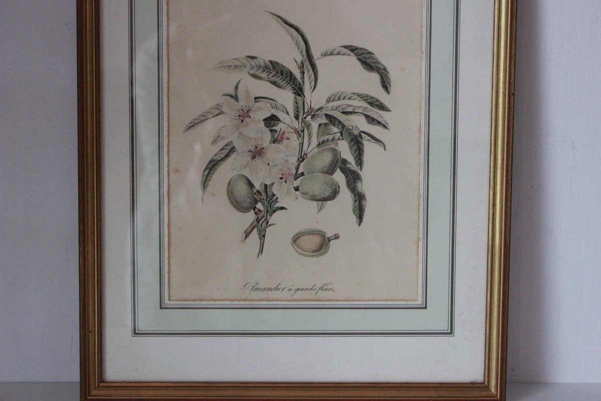 Tableau gravure Amandier à grandes fleurs Vintage