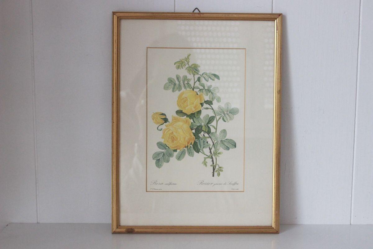 Tableau gravure les roses de Redouté Rosier jaune Vintage