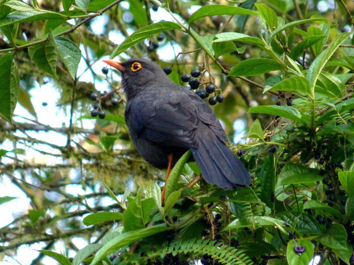 Glossy-black Thrush, Turdus serranus (Equateur)