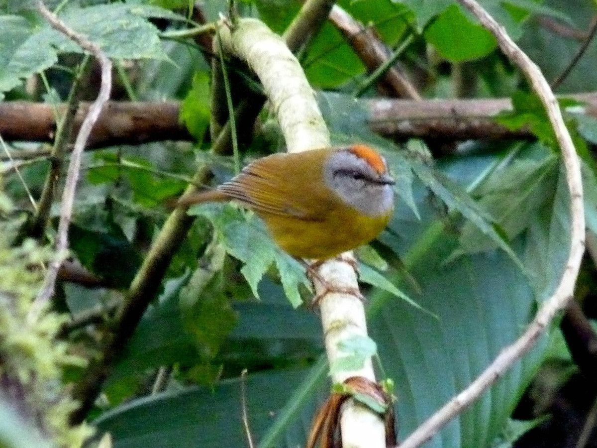 Azara's Spinetail, Synallaxis azarae media (Equateur)