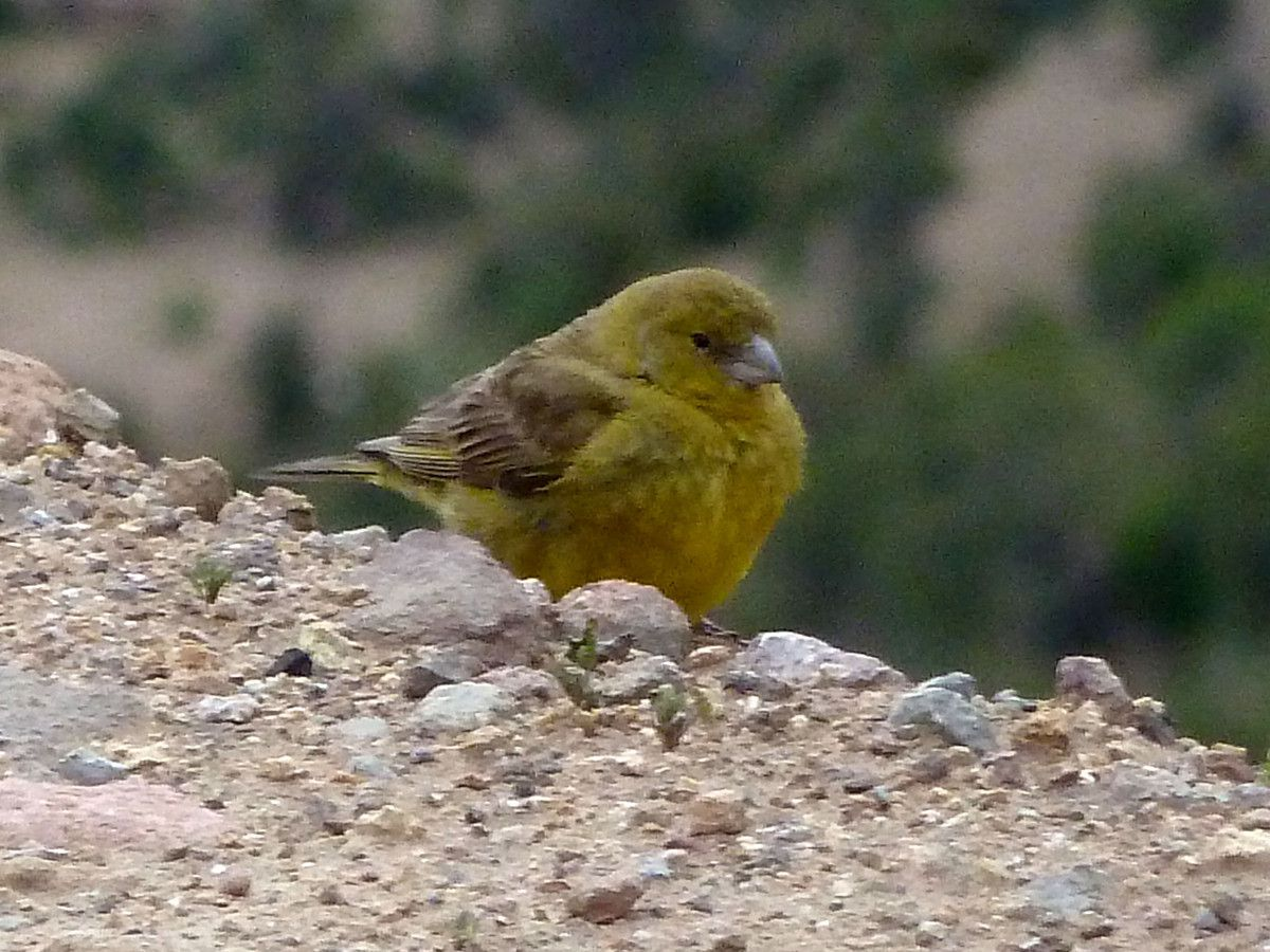 Misto Yellow-Finch (Chili)