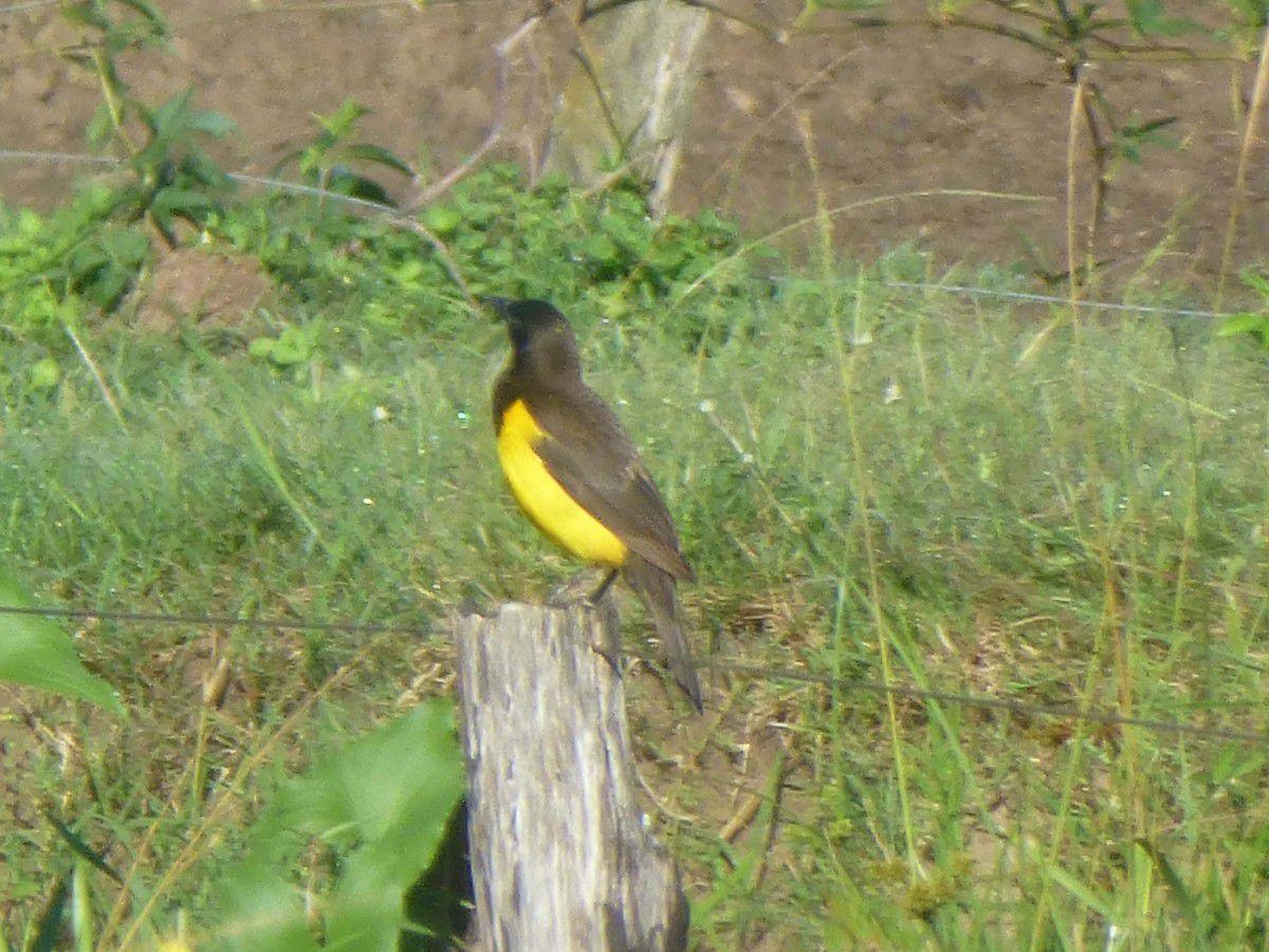 Pecho amarillo grande (Argentine)