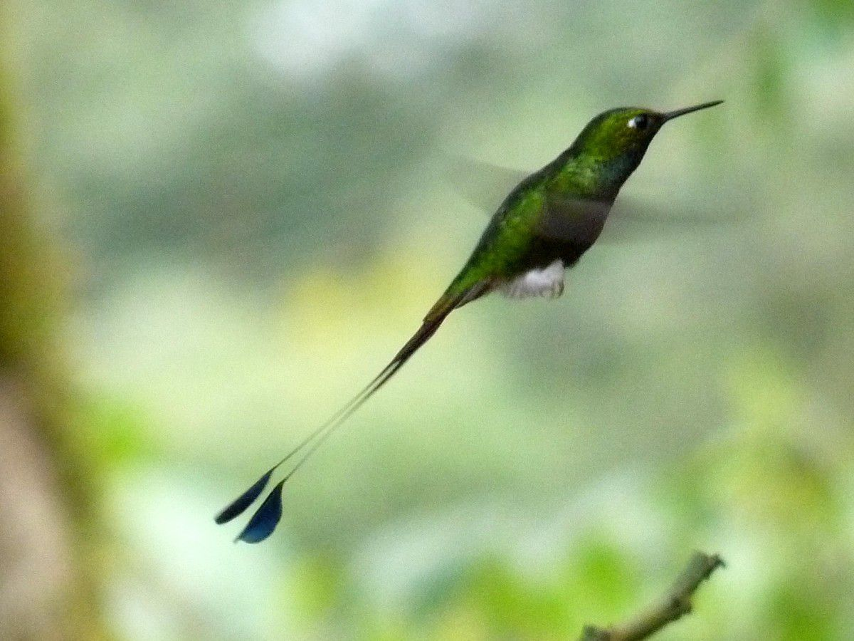 Booted Racket-tailed ♂, Ocreatus under -mâle- (Equateur)