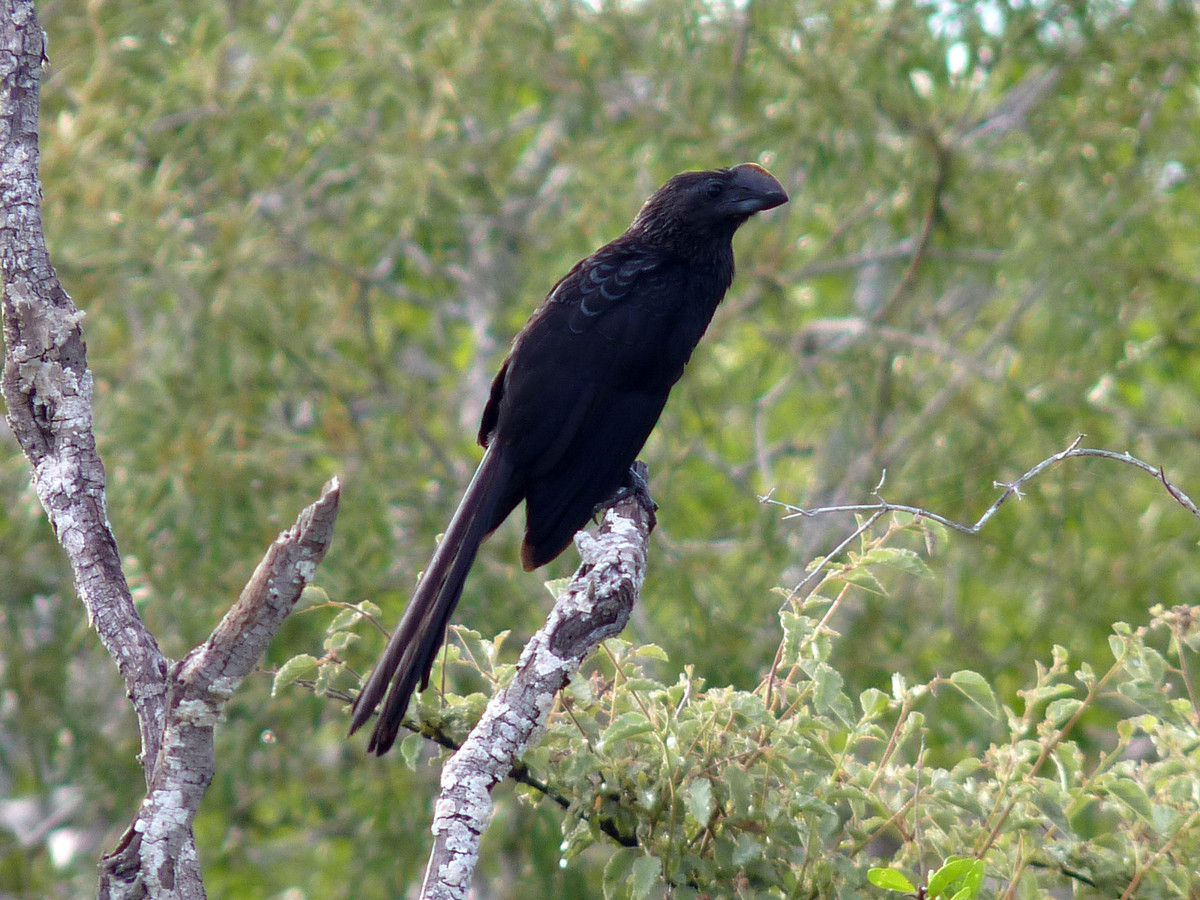 Smooth-billed Ani, Crotophaga ani (Equateur îles Galapagos)