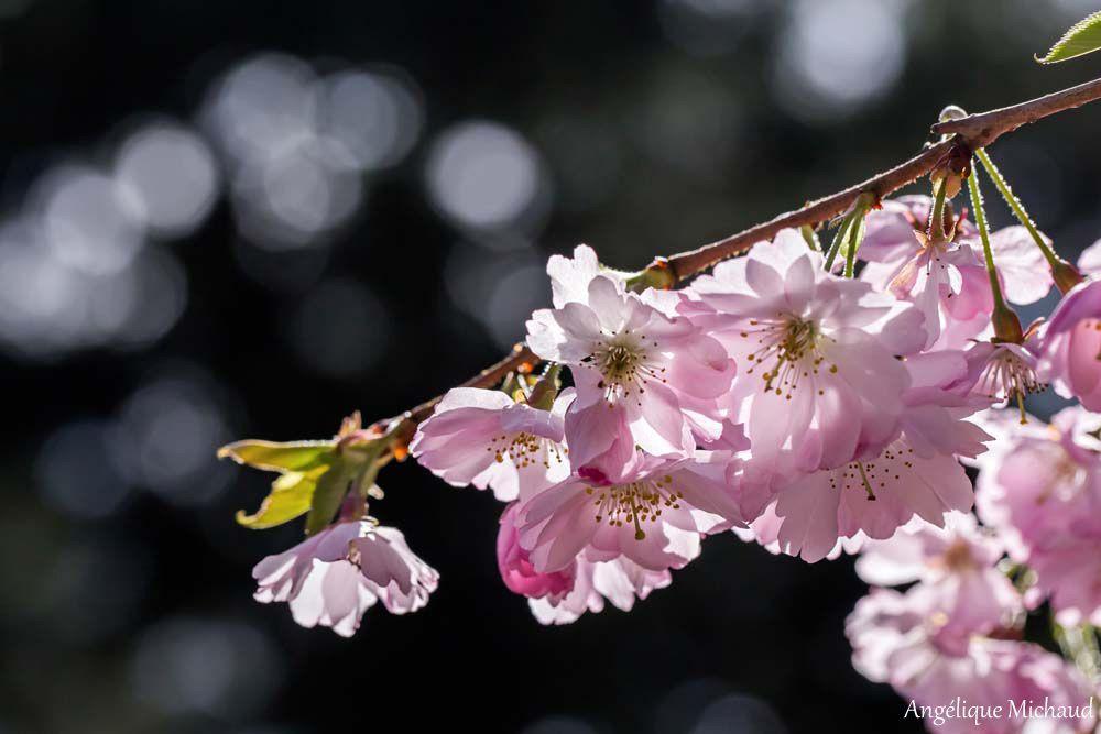 Les sakura du Parc Oriental de Maulévrier