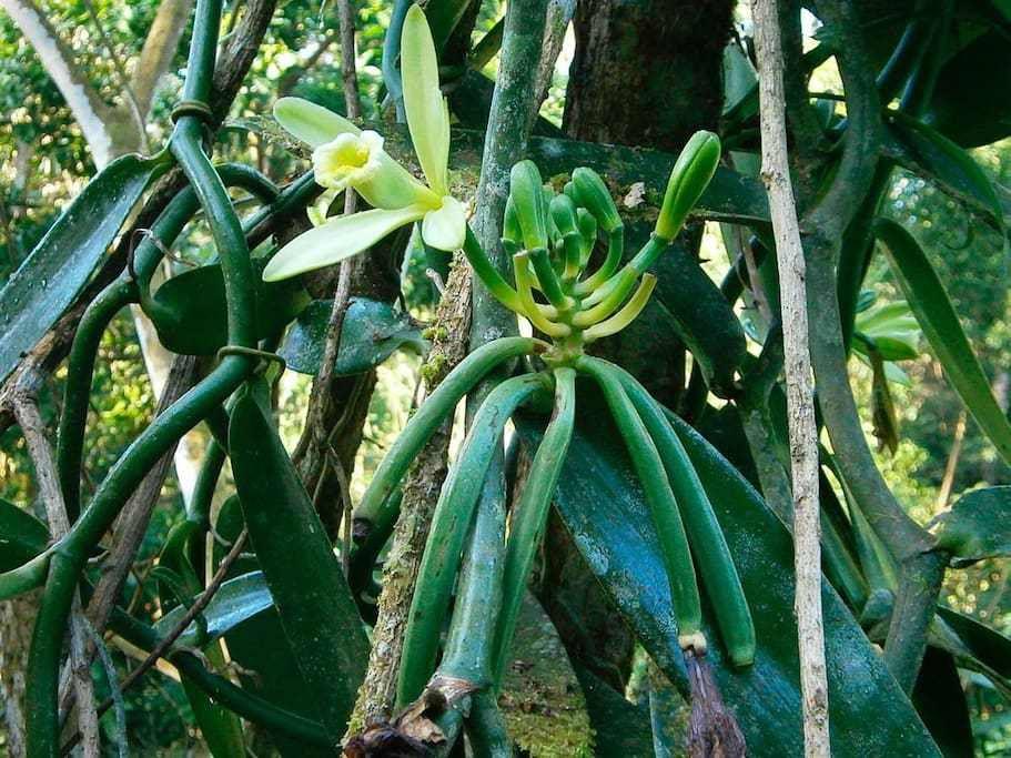 La vanille du Costa Rica