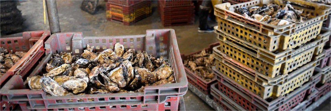 Gastro-entérite, suite de l'envoi précédent : les huîtres contaminées par des matières fécales: Les eaux de ruissellement des stations d'épuration en cause.