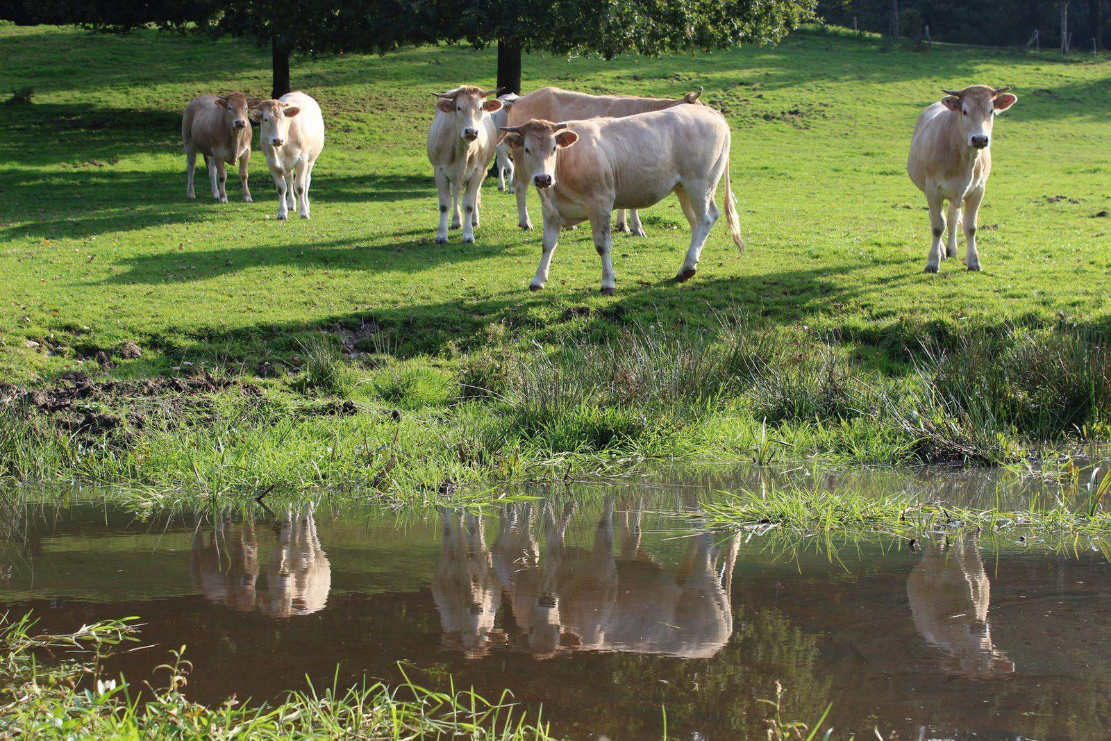 des prairies humides et des vaches_ vallée du Rhodon préservation biodiversité_10.2011_p
