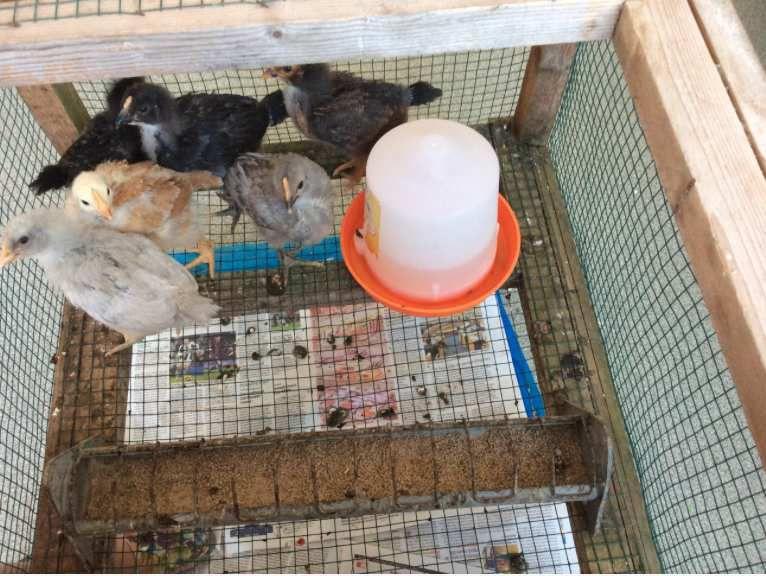 Pâques et poussins chez Yobrego