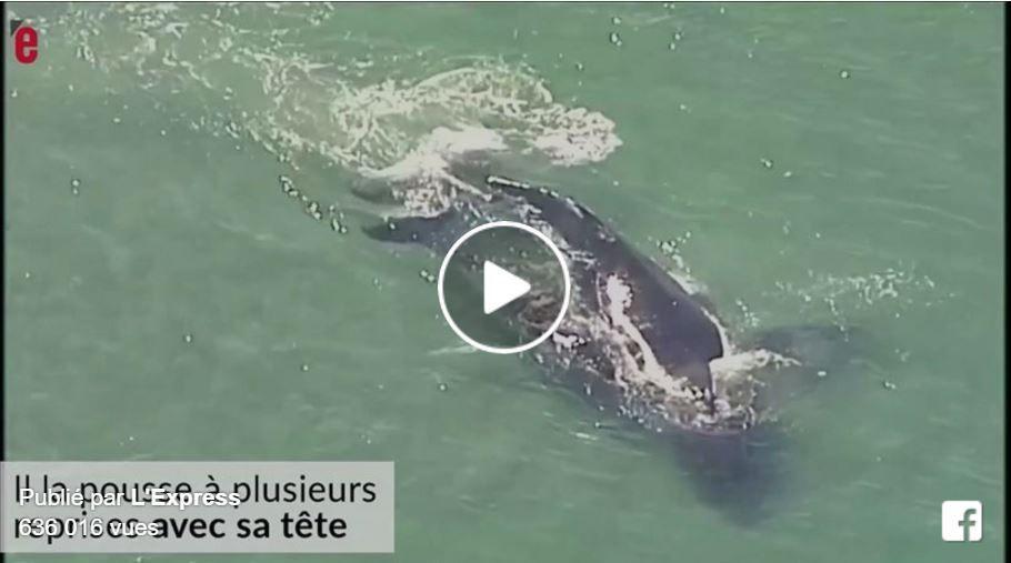 VIDEO - un baleineau tente de déséchouer sa mère