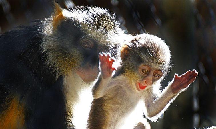Du jamais vu. Un singe s'improvise « sage-femme » et sauve une congénère
